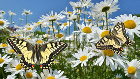 Stokrotki z swallowtail motylami fotografia stock