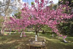 Stol under de härliga körsbärsröda blomningarna royaltyfri bild
