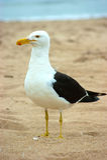 stolt cormorant royaltyfri foto