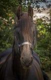 Stolt häst Arkivbilder