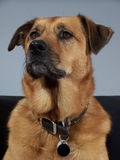 stolt hund Fotografering för Bildbyråer