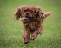 Stolt hund för konung Charles Spaniel Fotografering för Bildbyråer