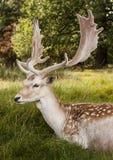 Stolt i träda fullvuxen hankronhjort med storartade horn på kronhjort Royaltyfri Foto