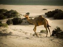 stolt kamel Royaltyfri Bild