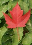 stolt kanadensare Royaltyfria Foton