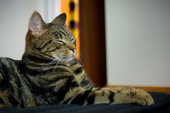 stolt katt Royaltyfria Bilder