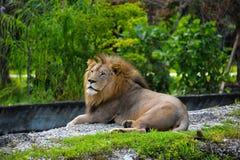 Stolt konung av djur som ser till och med avståndet fotografering för bildbyråer