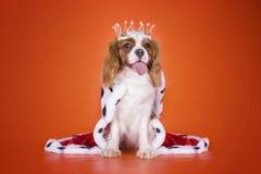 Stolt konung Charles Spaniel för valp i en dräkt av drottningen på eller Royaltyfria Bilder