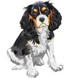 Stolt konung Charles Spaniel för vektorhund royaltyfri illustrationer