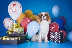 Stolt konung Charles Spaniel för valp med ballonger och gåvor på b Royaltyfria Bilder