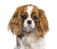 Stolt konung Charles Spaniel, hund för valp arkivbilder