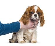 Stolt konung Charles Spaniel, hund, mänsklig hand för valp royaltyfri foto
