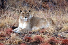 Stolt kvinnligt lejon i savannahen av Namibia royaltyfri bild