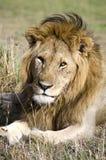 Stolt lejon upp nära och personligt Fotografering för Bildbyråer