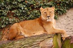stolt lion arkivfoton
