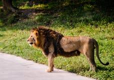 stolt lion Arkivfoto