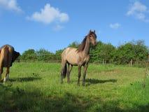 Stolt lycklig häst Royaltyfria Foton