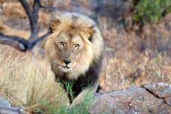 Stolt manligt lejon i savannahen av Namibia royaltyfri foto