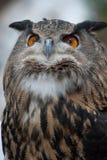 stolt owl Arkivbilder