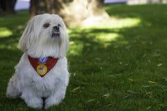 Stolt pekineshund utanför royaltyfri fotografi