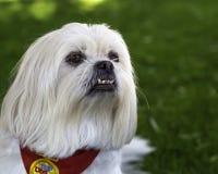 Stolt pekineshund royaltyfria bilder