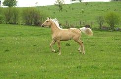 stolt ponny Royaltyfri Bild