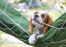Stolt puppie för konung som Charles Spaniel drar att dra på rep royaltyfria foton