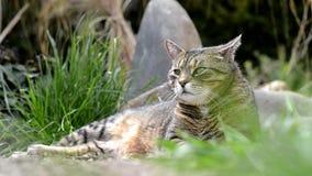 Stolt randig katt på trädgården lager videofilmer