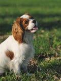Stolt ungt hundsammanträde för konung Charles Spaniel på gräset Royaltyfri Fotografi