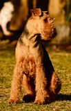 Stolt visa av den rasrena airedaleterrierTerrier hunden precis  Arkivbilder