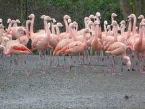 Stolta flamingo som all är högväxta och royaltyfri bild