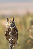 Stolta stora Horned Owl Perched Royaltyfri Foto