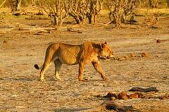 Stolthet av Afrika det kungliga lejonet fotografering för bildbyråer