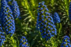 Stolthet av den blåa växten för Madiera Echiumcandicans royaltyfri fotografi