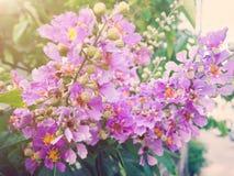 Stolthet av den Indien blomman Arkivbild