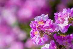 Stolthet av den Indien blomman (drottningens blomma) Royaltyfri Fotografi