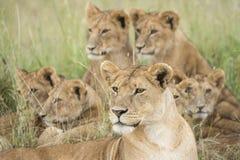 Stolthet av Lions, Serengeti, Tanzania Royaltyfri Fotografi