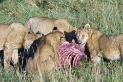 Stolthet av lions som äter jakten Arkivbild