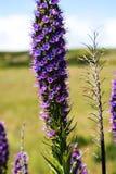 Stolthet av madeiran blommar i bergen i norden av ön av madeiran Royaltyfria Foton
