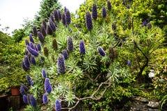 Stolthet av madeiran blommar i bergen i norden av ön av madeiran Fotografering för Bildbyråer