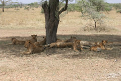 Stolthet av unga lejon, Serengeti nationalpark, Tanzania arkivbilder