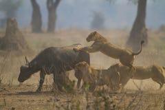 Stolthet som kommer med ner buffel Royaltyfria Bilder