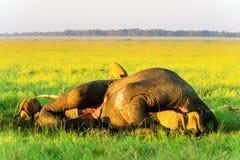 Stolz der Löwen, die einen Elefanten verschlingen Stockbild