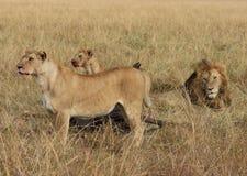 Stolz der Löweuhr Stockbild
