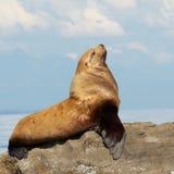 Stolz und der Seelöwe Stockbilder