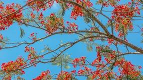 Stolz von Barbados Stockfotos