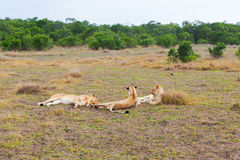 Stolz von den Löwen, die in der Savanne bei Afrika stillstehen lizenzfreie stockfotos