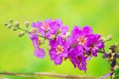 Stolz von Indien, die Blume der Königin Lizenzfreies Stockbild