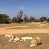 Stolz von Löwen Stockbild