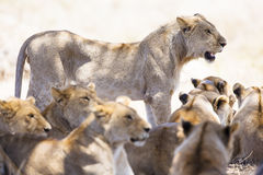 Stolz von Löwen steht an der afrikanischen Savanne still Lizenzfreie Stockfotografie